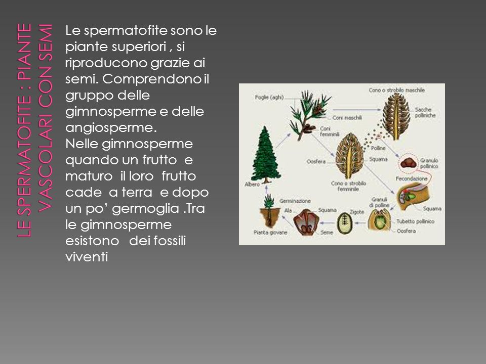 Le spermatofite : piante vascolari con semi