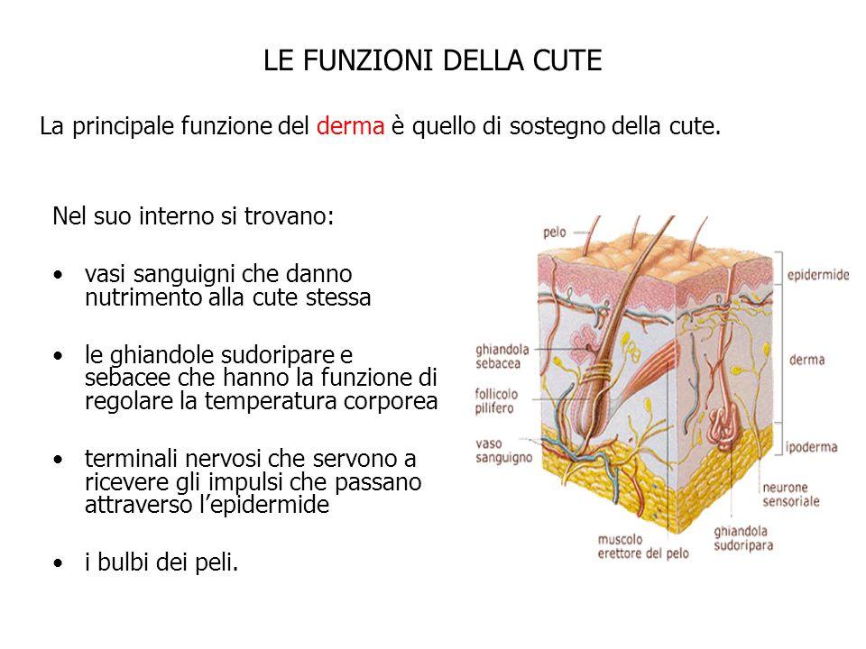LE FUNZIONI DELLA CUTE La principale funzione del derma è quello di sostegno della cute. Nel suo interno si trovano: