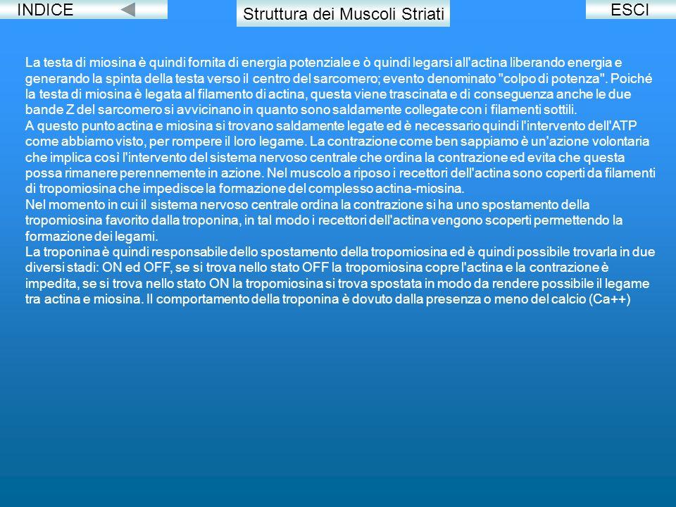 Struttura dei Muscoli Striati