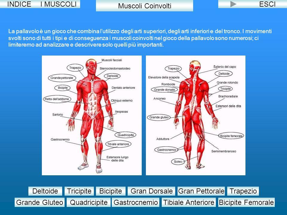 INDICE I MUSCOLI Muscoli Coinvolti ESCI Deltoide Tricipite Bicipite