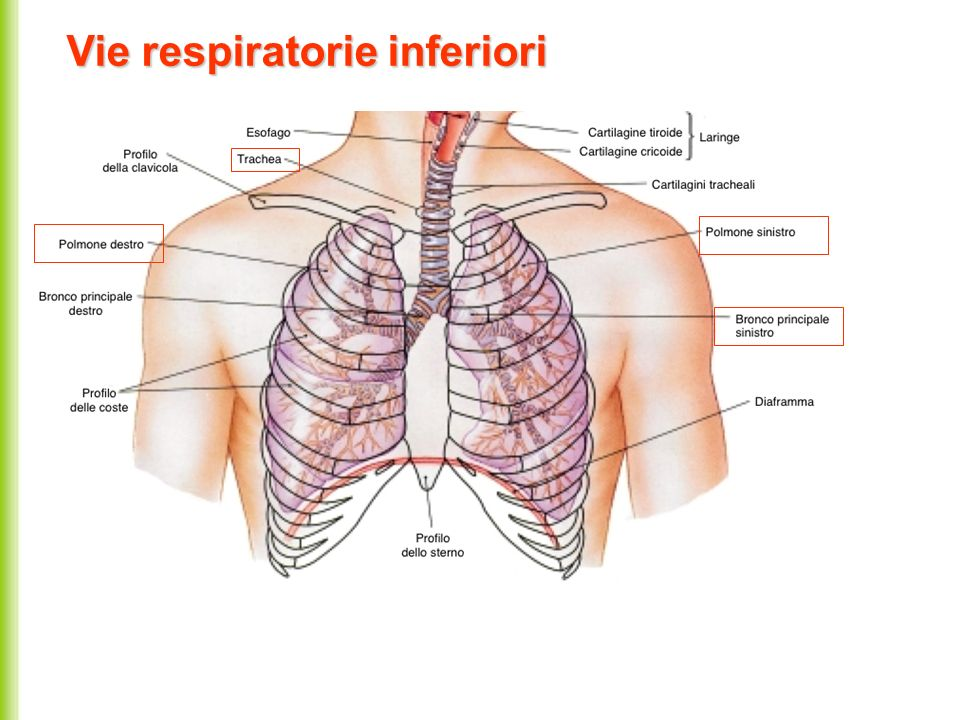 Vie respiratorie inferiori