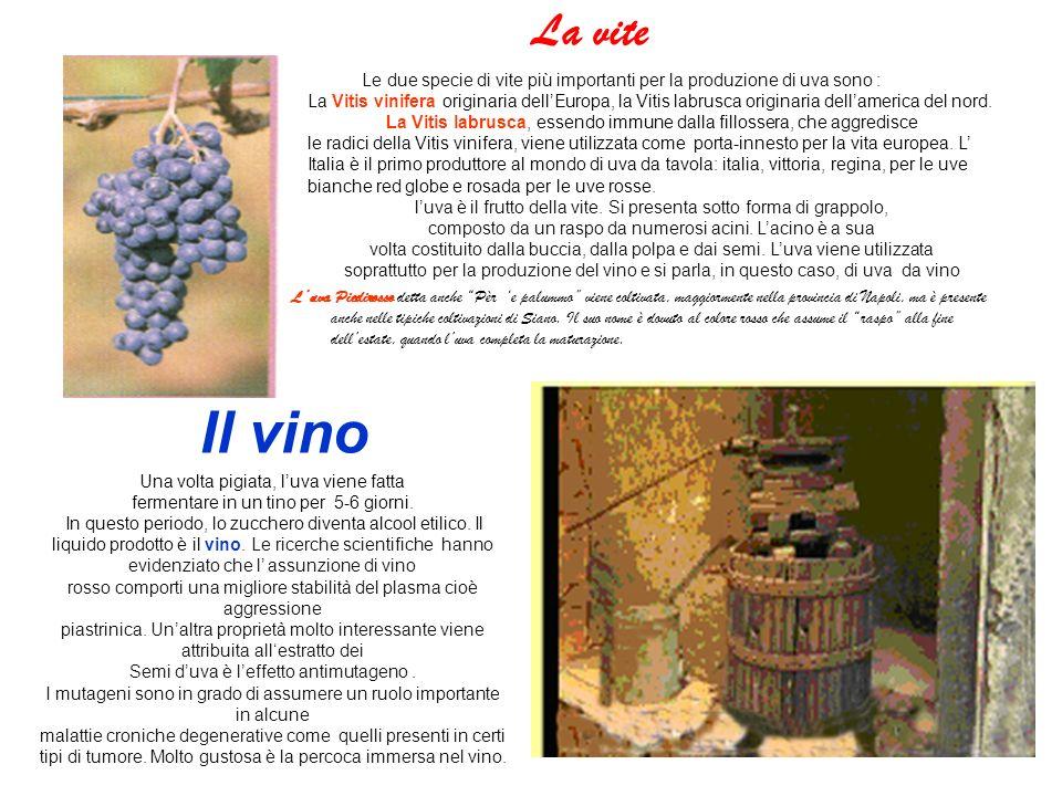 La vite Le due specie di vite più importanti per la produzione di uva sono :