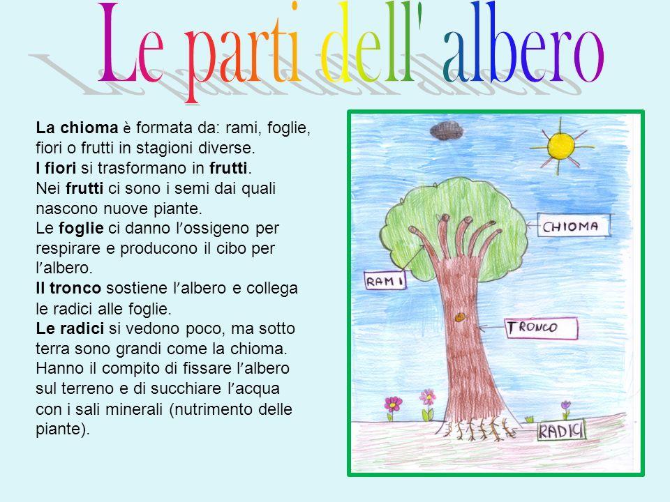 Le parti dell albero La chioma è formata da: rami, foglie, fiori o frutti in stagioni diverse. I fiori si trasformano in frutti.