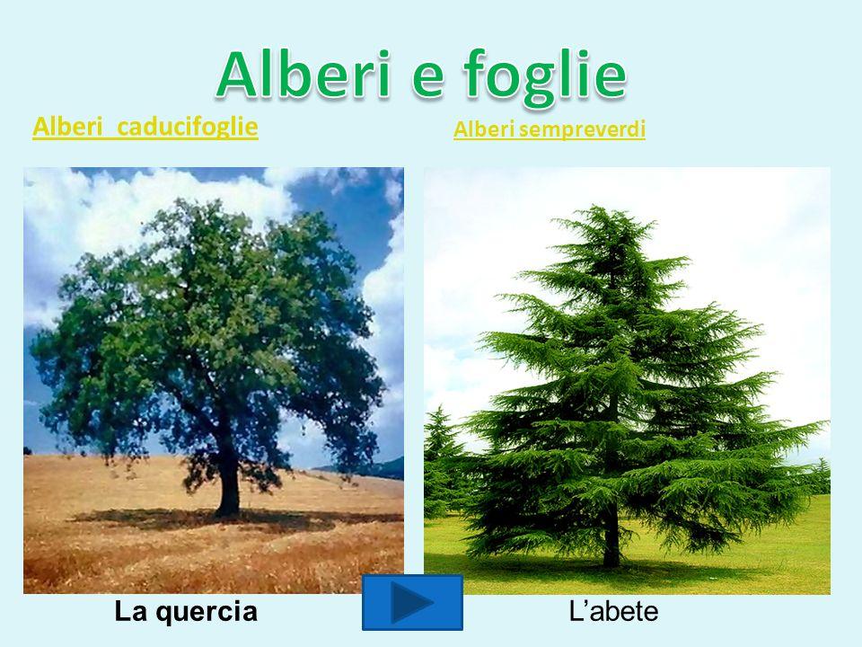 Alberi e foglie Alberi caducifoglie La quercia L'abete
