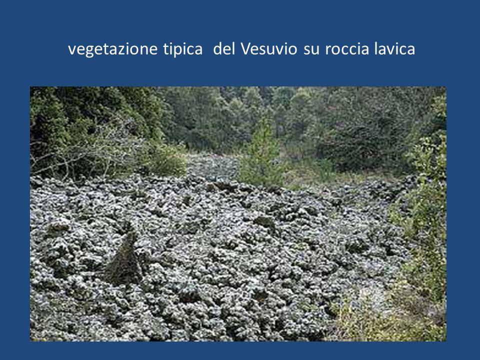vegetazione tipica del Vesuvio su roccia lavica