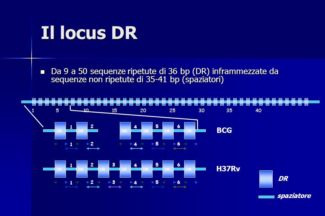 Il locus DR Da 9 a 50 sequenze ripetute di 36 bp (DR) inframmezzate da sequenze non ripetute di 35-41 bp (spaziatori)