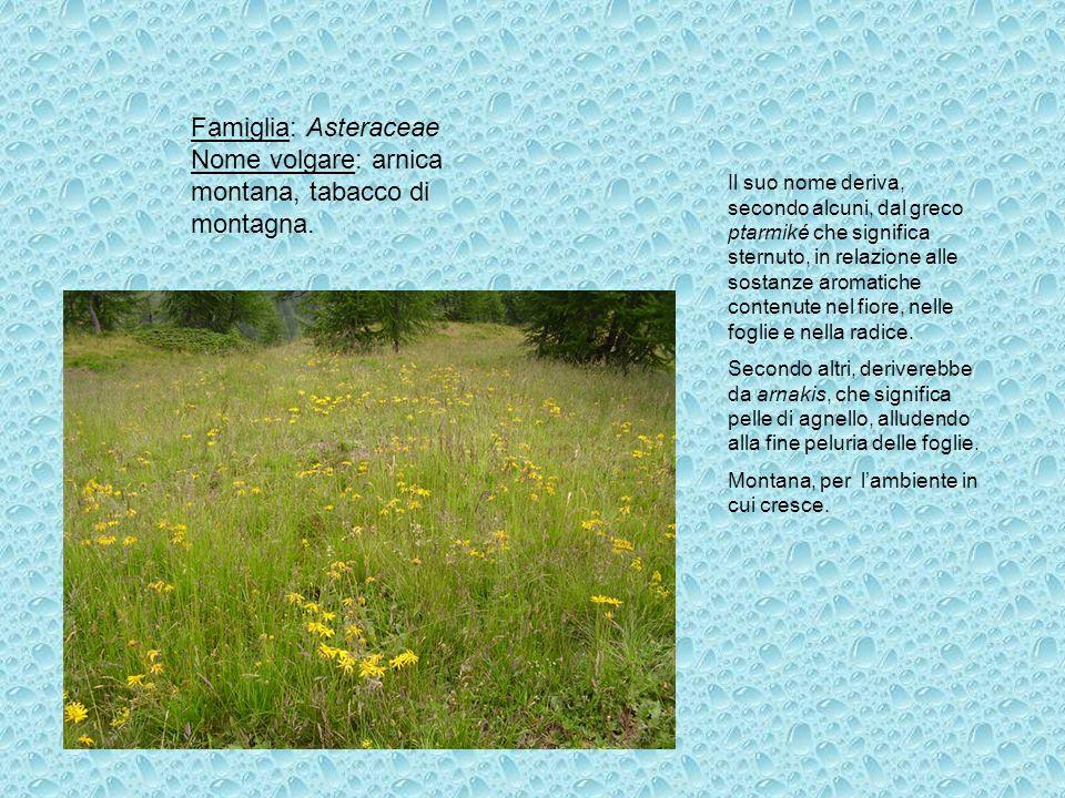 Famiglia: Asteraceae Nome volgare: arnica montana, tabacco di montagna.