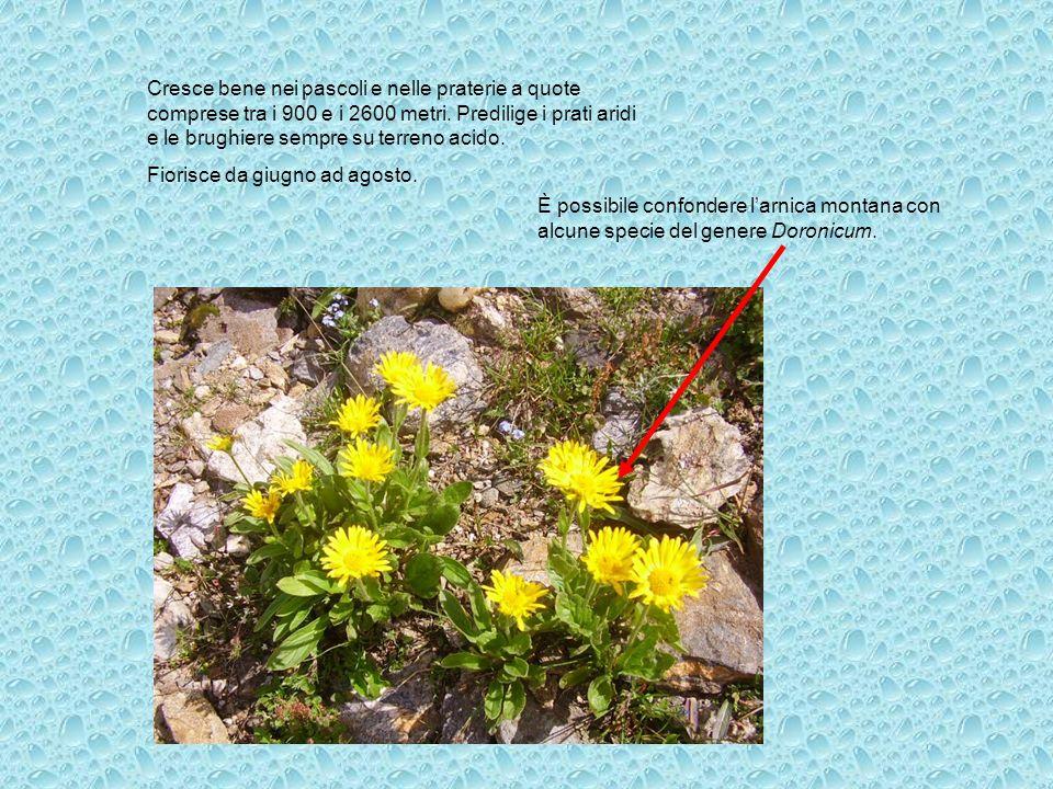 Cresce bene nei pascoli e nelle praterie a quote comprese tra i 900 e i 2600 metri. Predilige i prati aridi e le brughiere sempre su terreno acido.