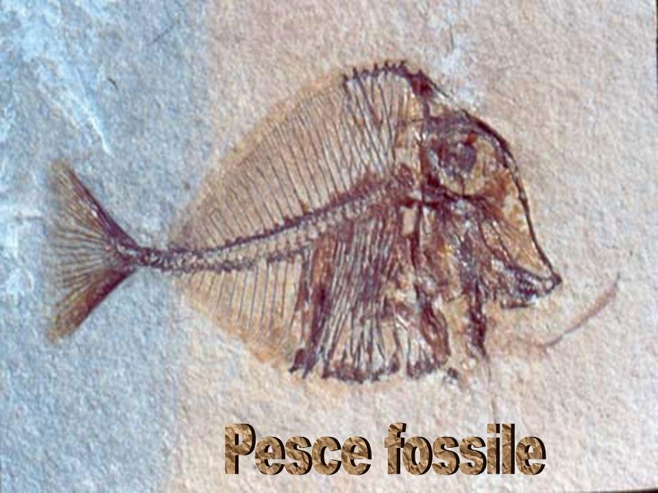 Pesce fossile