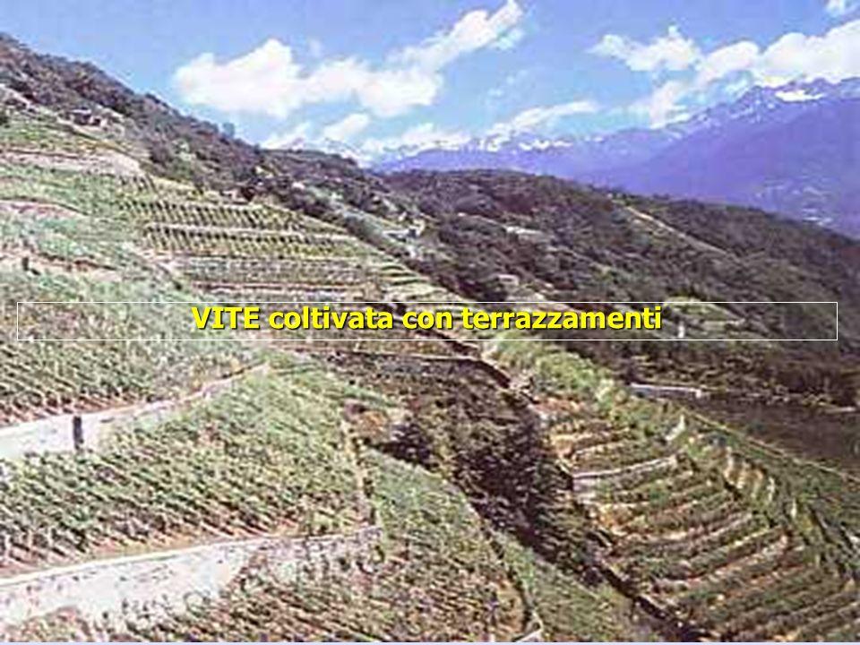 VITE coltivata con terrazzamenti