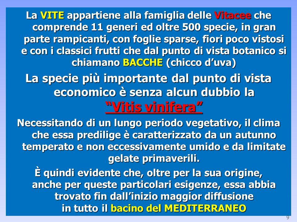La VITE appartiene alla famiglia delle Vitacee che comprende 11 generi ed oltre 500 specie, in gran parte rampicanti, con foglie sparse, fiori poco vistosi e con i classici frutti che dal punto di vista botanico si chiamano BACCHE (chicco d'uva)