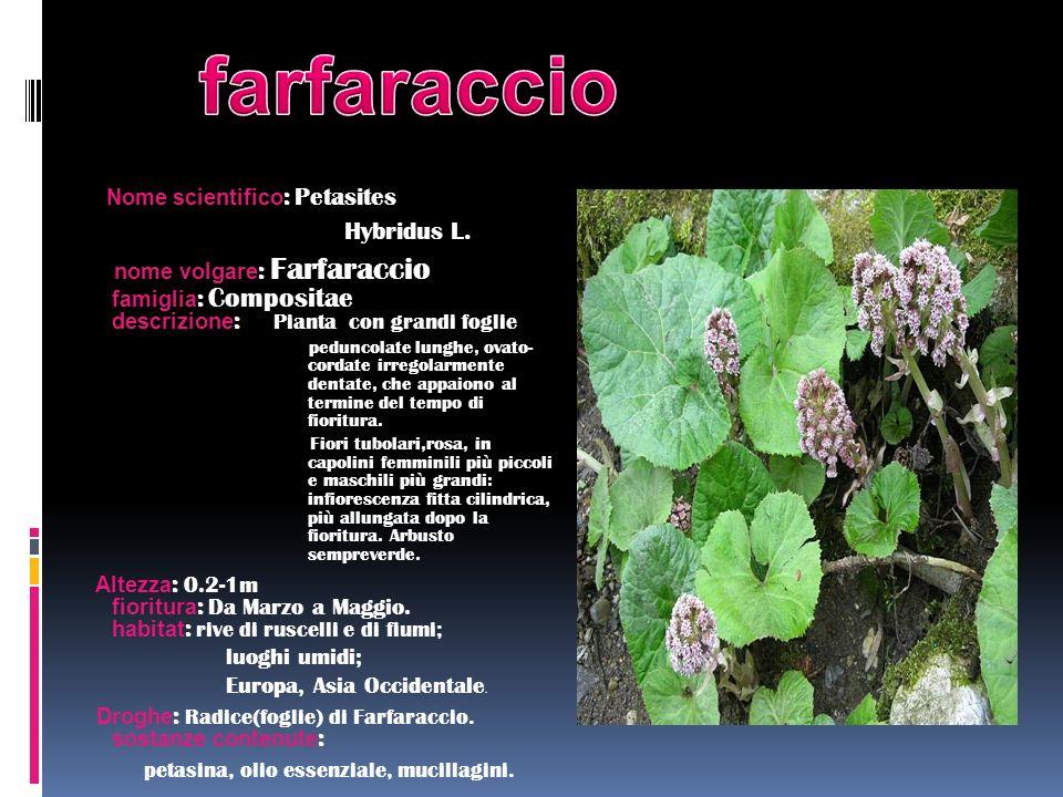 farfaraccio Hybridus L. luoghi umidi; Europa, Asia Occidentale.