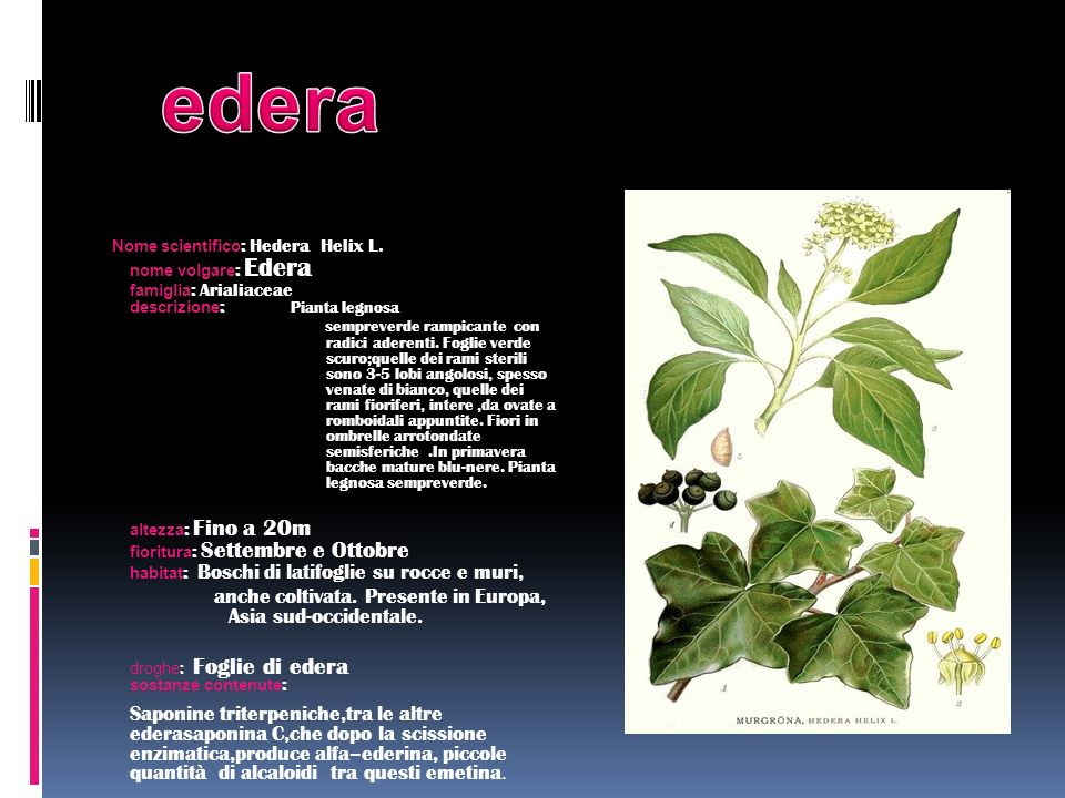 edera anche coltivata. Presente in Europa, Asia sud-occidentale.