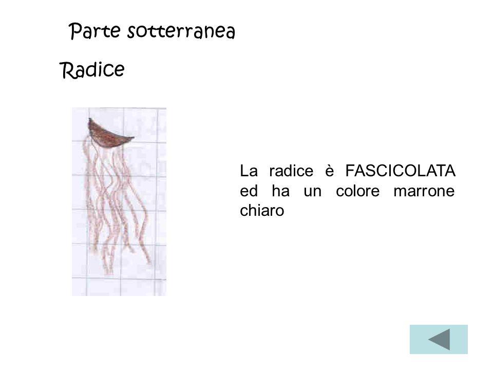 Parte sotterranea Radice