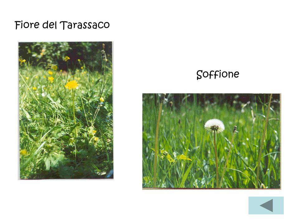 Fiore del Tarassaco Soffione