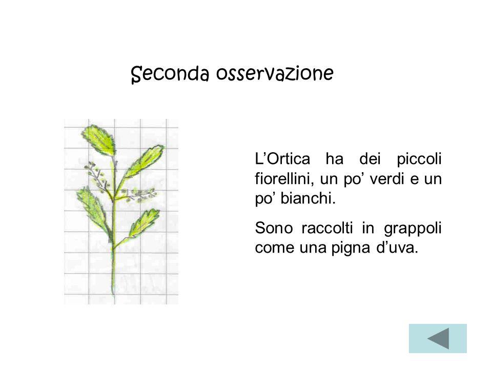 Seconda osservazione L'Ortica ha dei piccoli fiorellini, un po' verdi e un po' bianchi.