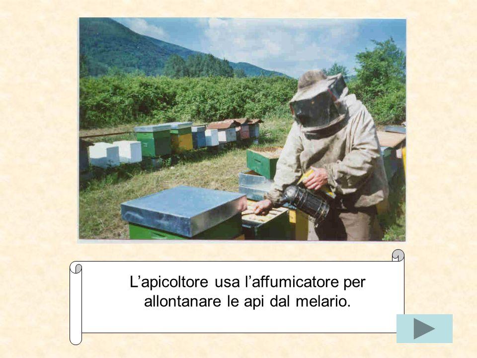 L'apicoltore usa l'affumicatore per allontanare le api dal melario.
