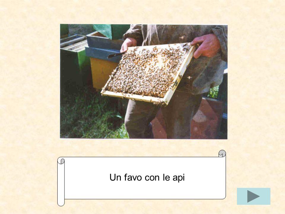 Un favo con le api