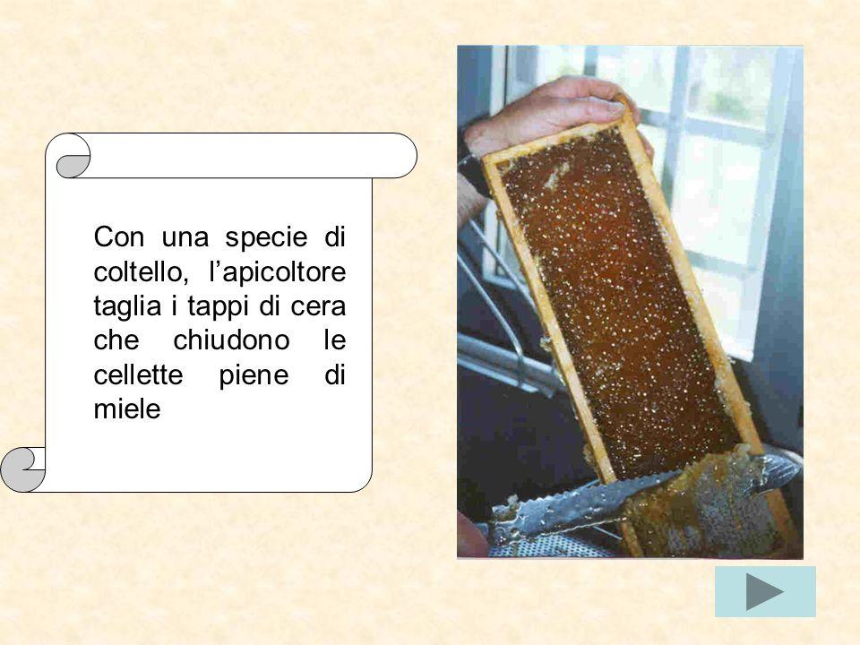 Con una specie di coltello, l'apicoltore taglia i tappi di cera che chiudono le cellette piene di miele