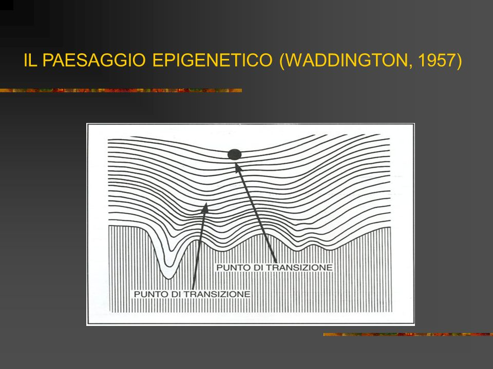 IL PAESAGGIO EPIGENETICO (WADDINGTON, 1957)