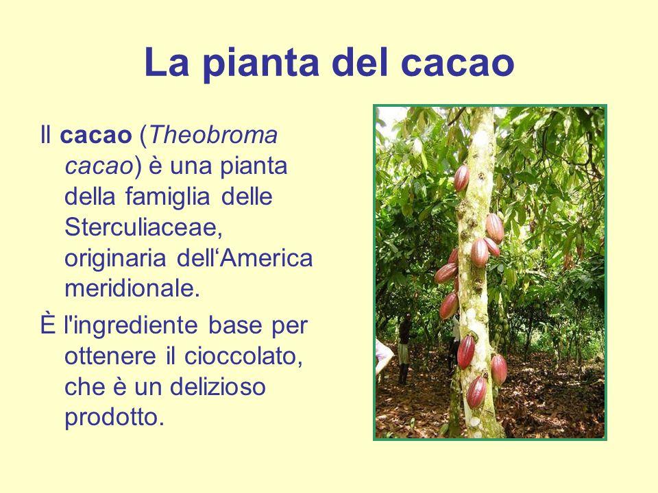 La pianta del cacao Il cacao (Theobroma cacao) è una pianta della famiglia delle Sterculiaceae, originaria dell'America meridionale.