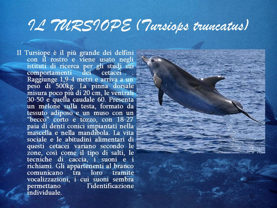 IL TURSIOPE (Tursiops truncatus)