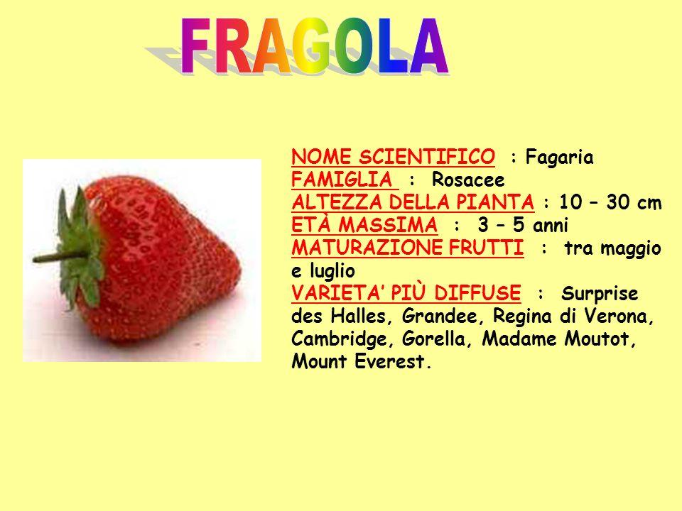 FRAGOLA NOME SCIENTIFICO : Fagaria FAMIGLIA : Rosacee