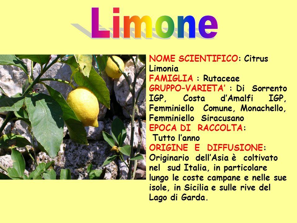 Limone NOME SCIENTIFICO: Citrus Limonia FAMIGLIA : Rutaceae