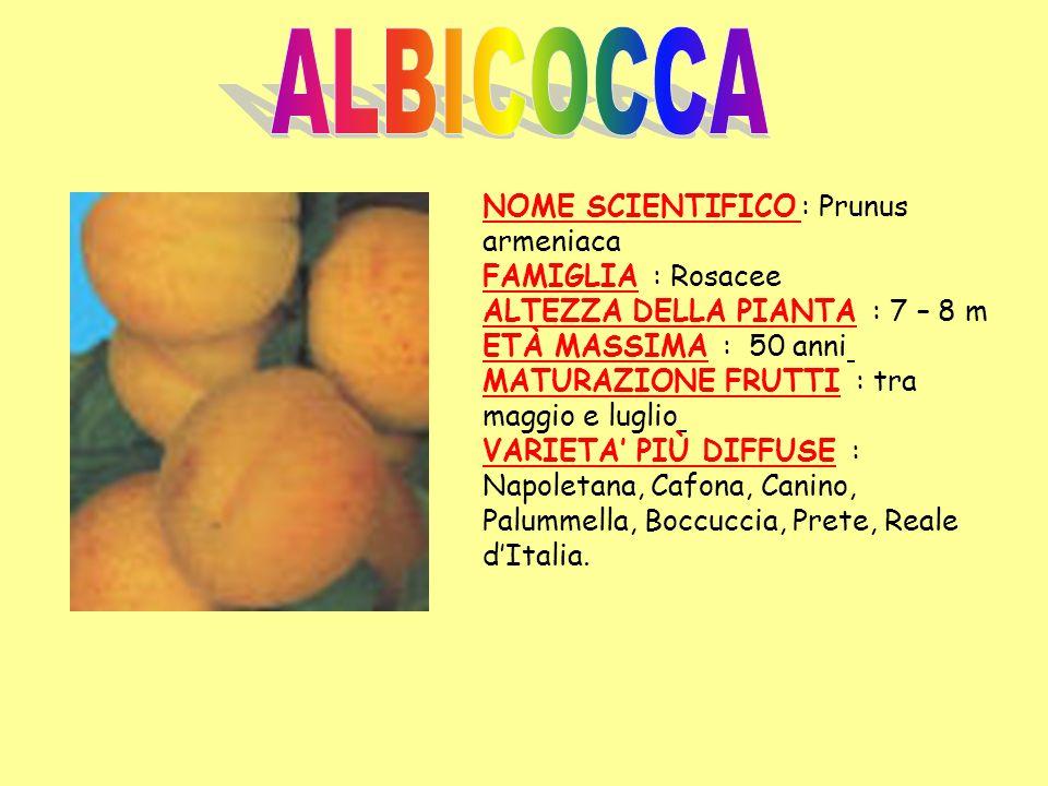ALBICOCCA NOME SCIENTIFICO : Prunus armeniaca FAMIGLIA : Rosacee ALTEZZA DELLA PIANTA : 7 – 8 m ETÀ MASSIMA : 50 anni