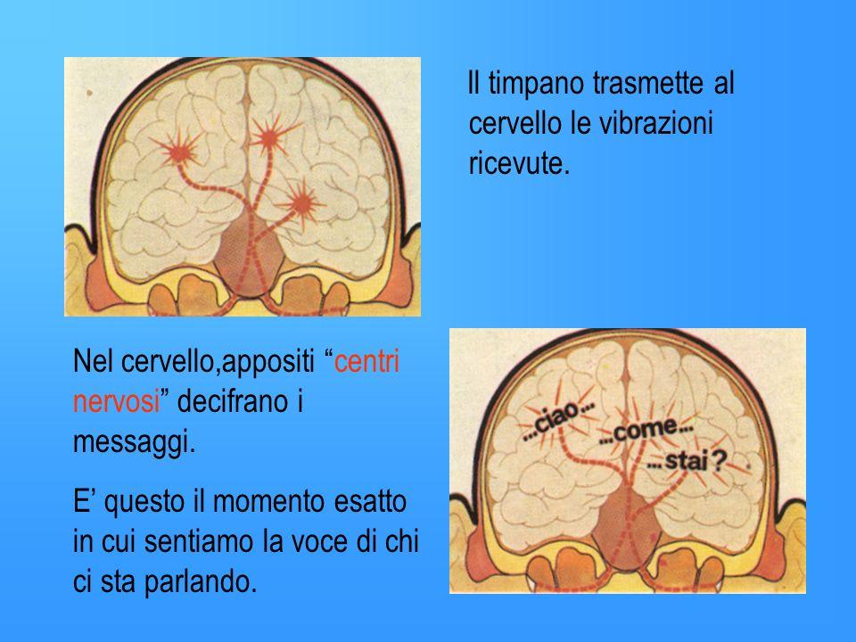 Il timpano trasmette al cervello le vibrazioni ricevute.