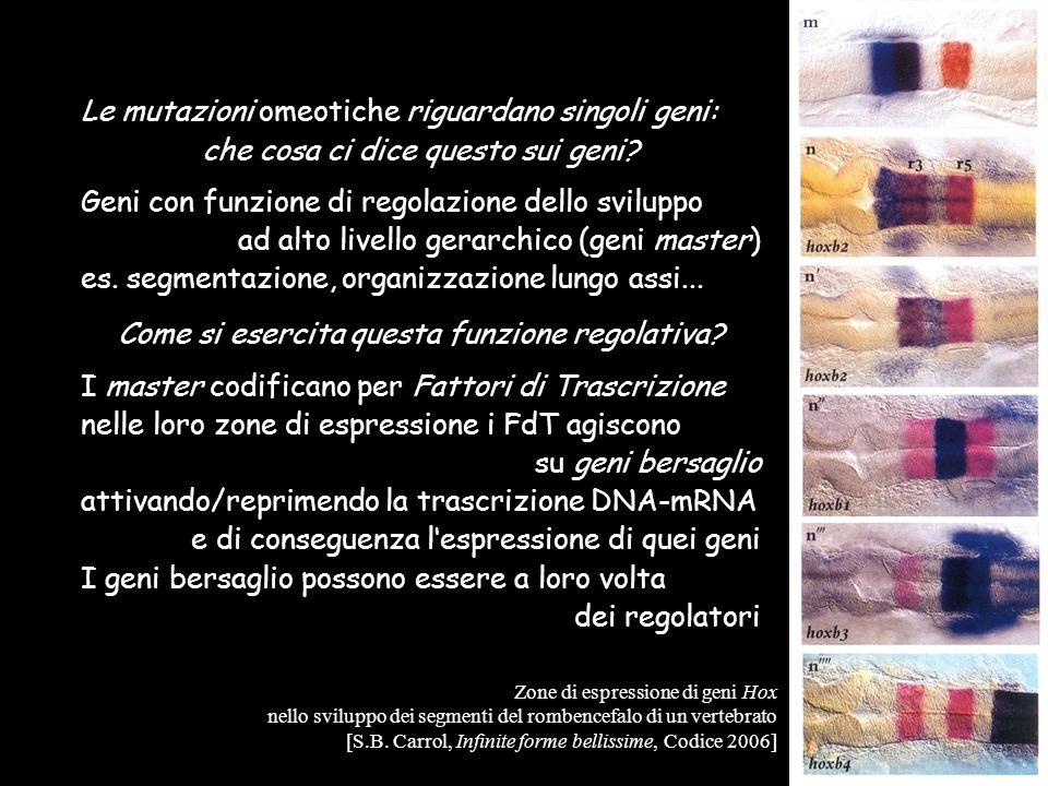 Le mutazioni omeotiche riguardano singoli geni: