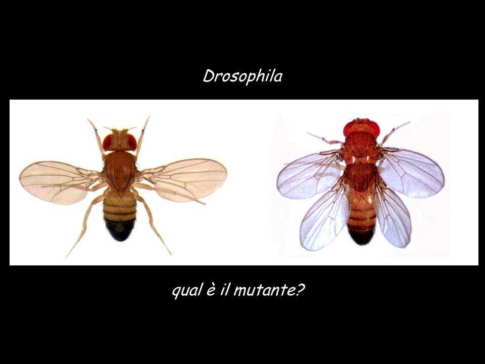 Drosophila qual è il mutante