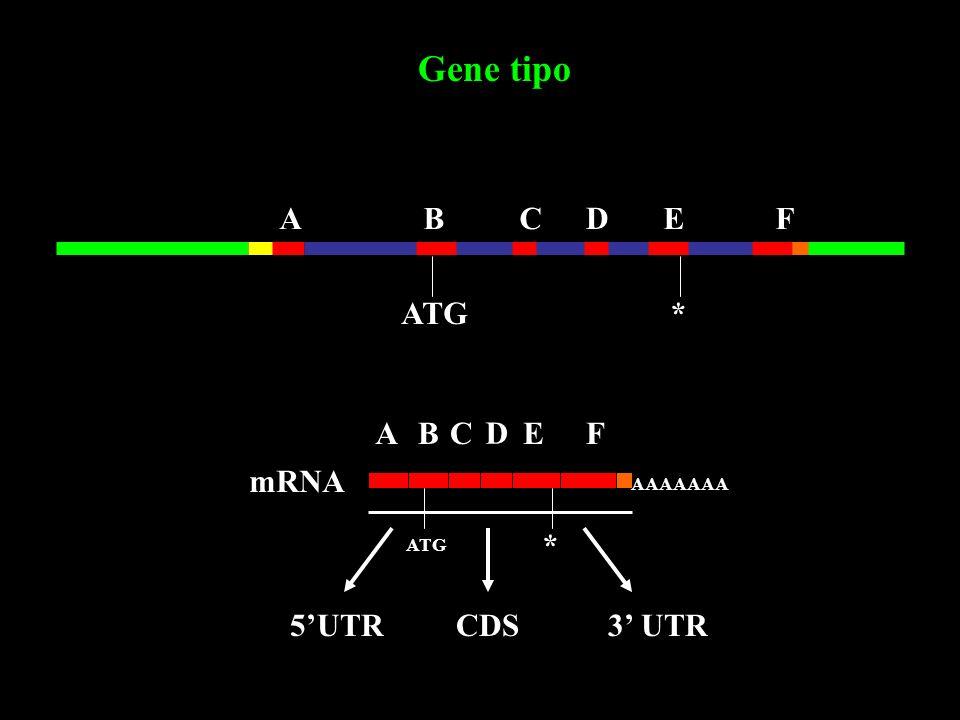 Gene tipo A B C D E F ATG * A B C D E F mRNA * 5'UTR CDS 3' UTR