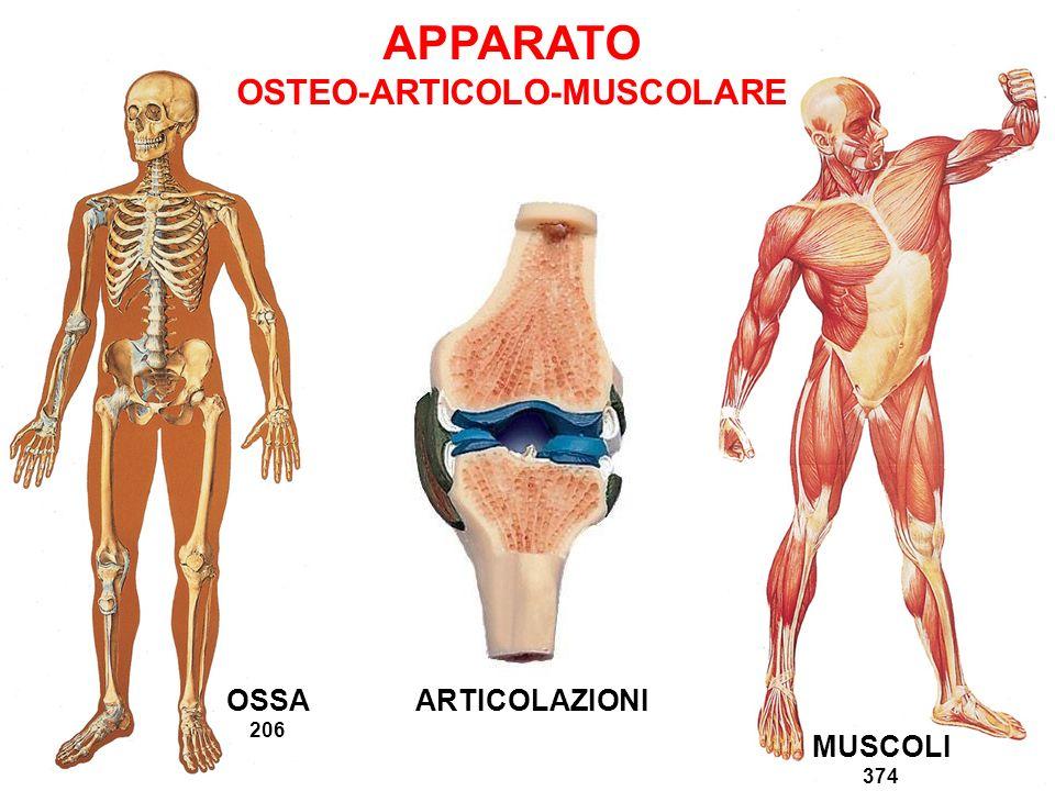 OSTEO-ARTICOLO-MUSCOLARE