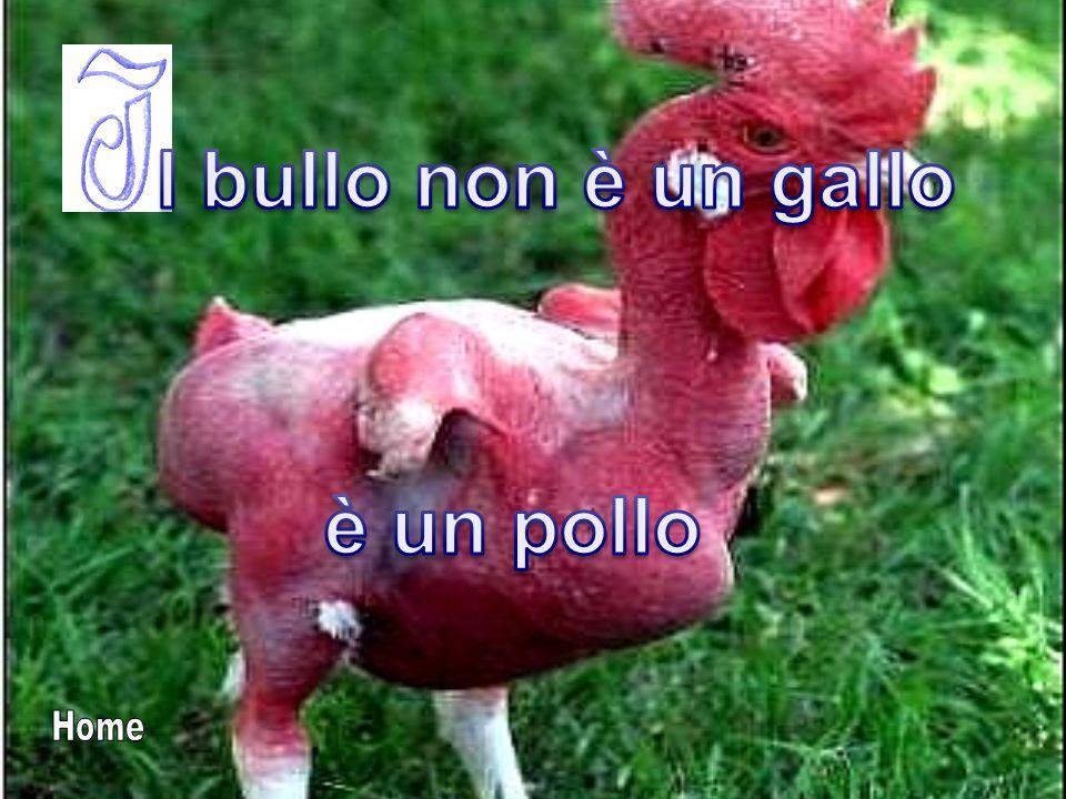 l bullo non è un gallo è un pollo