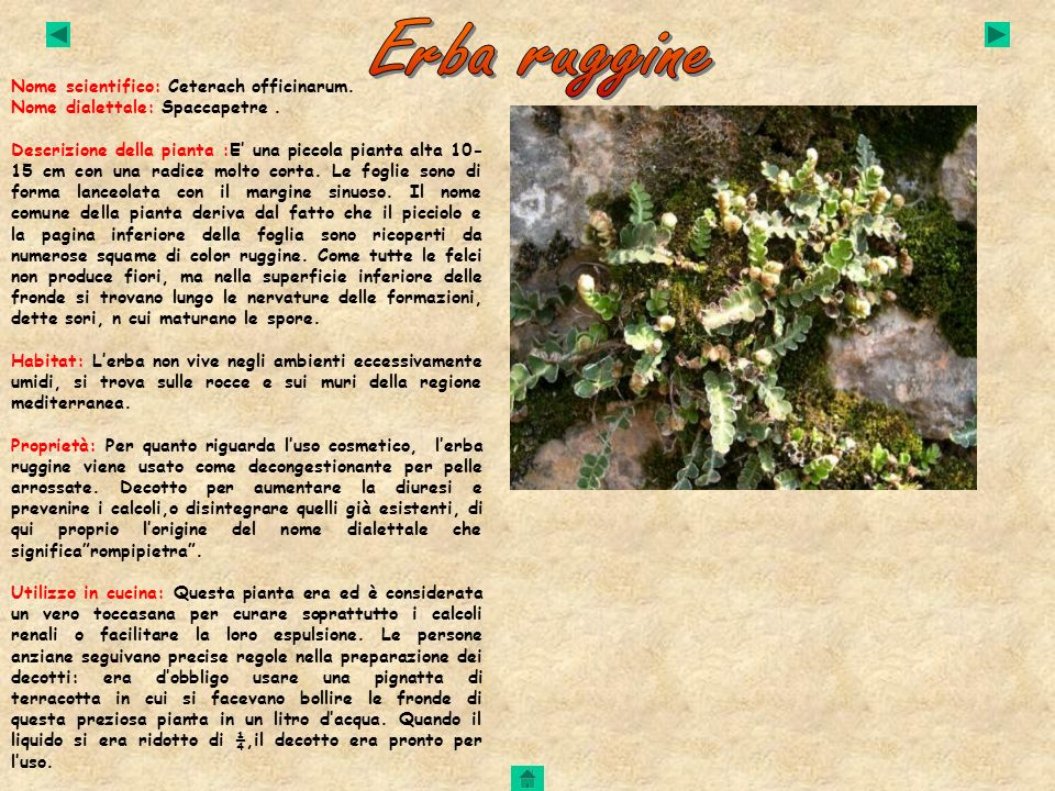 Erba ruggine Nome scientifico: Ceterach officinarum.