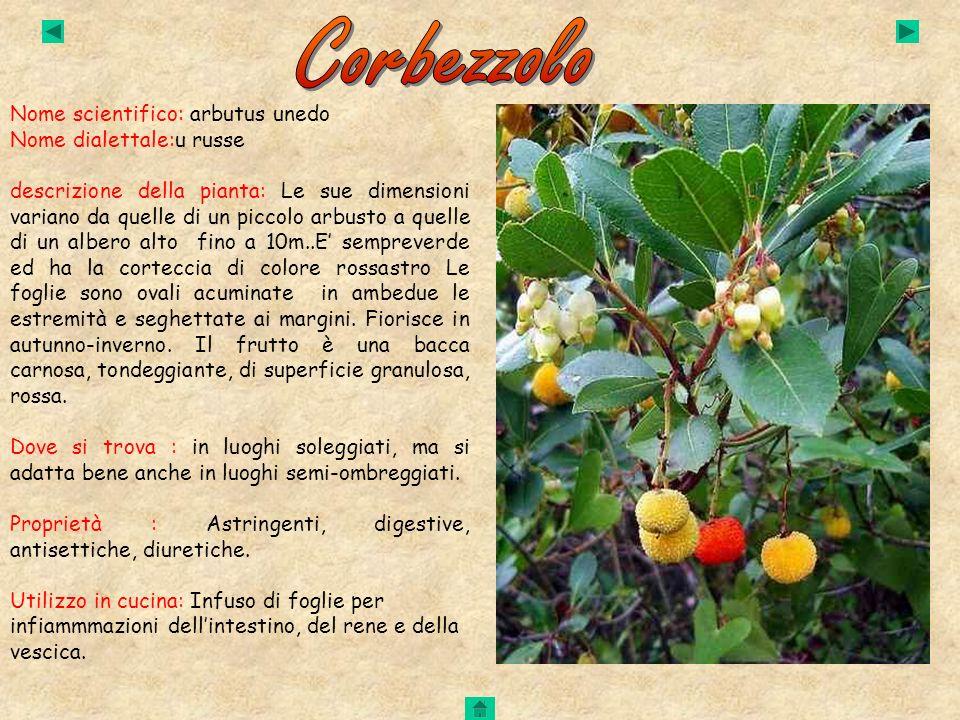 Corbezzolo Nome scientifico: arbutus unedo Nome dialettale:u russe