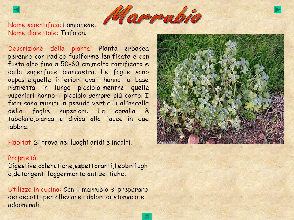 Marrubio Nome scientifico: Lamiaceae. Nome dialettale: Trifolon.