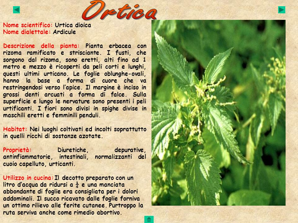 Ortica Nome scientifico: Urtica dioica Nome dialettale: Ardicule