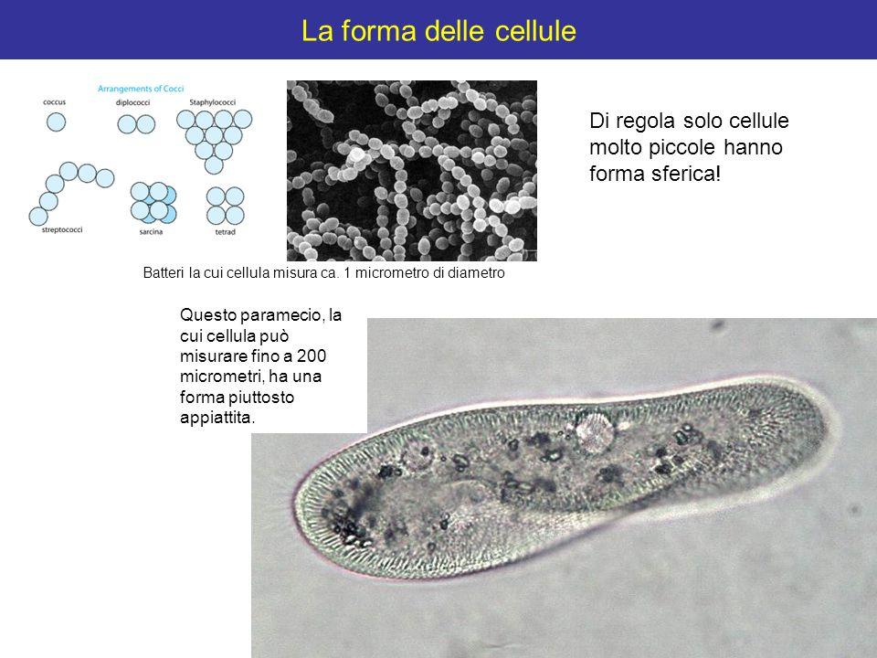 La forma delle cellule Di regola solo cellule molto piccole hanno forma sferica! Batteri la cui cellula misura ca. 1 micrometro di diametro.