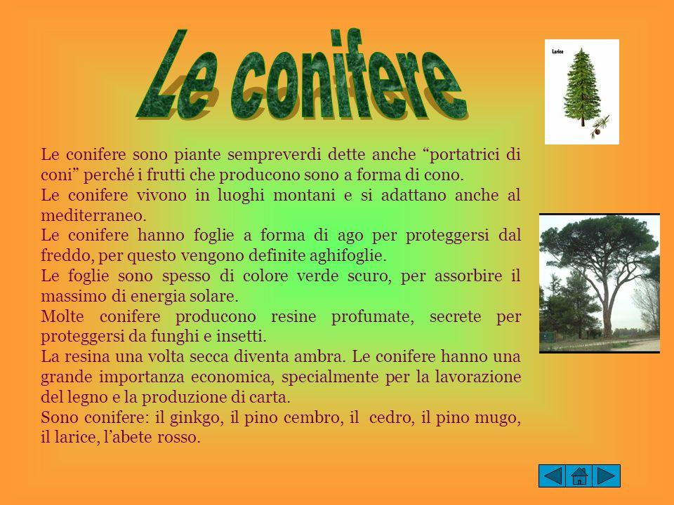 Le conifere Le conifere sono piante sempreverdi dette anche portatrici di coni perché i frutti che producono sono a forma di cono.