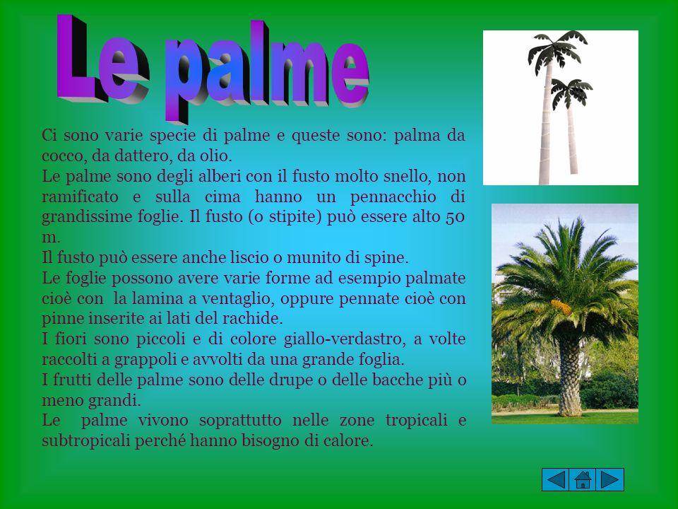 Le palme Ci sono varie specie di palme e queste sono: palma da cocco, da dattero, da olio.