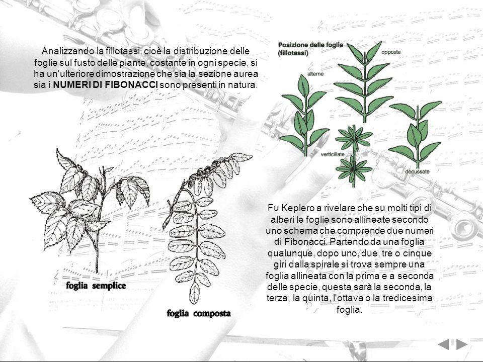 Analizzando la fillotassi, cioè la distribuzione delle foglie sul fusto delle piante, costante in ogni specie, si ha un ulteriore dimostrazione che sia la sezione aurea sia i NUMERI DI FIBONACCI sono presenti in natura.