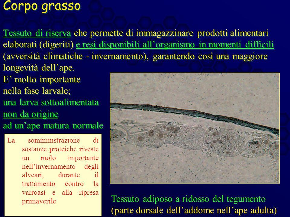 Corpo grasso Tessuto di riserva che permette di immagazzinare prodotti alimentari elaborati (digeriti) e resi disponibili all'organismo in momenti difficili (avversità climatiche - invernamento), garantendo così una maggiore longevità dell'ape. E' molto importante nella fase larvale; una larva sottoalimentata non da origine ad un'ape matura normale
