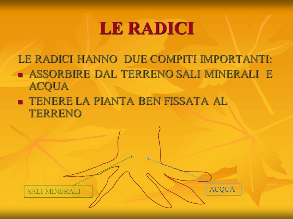 LE RADICI LE RADICI HANNO DUE COMPITI IMPORTANTI: