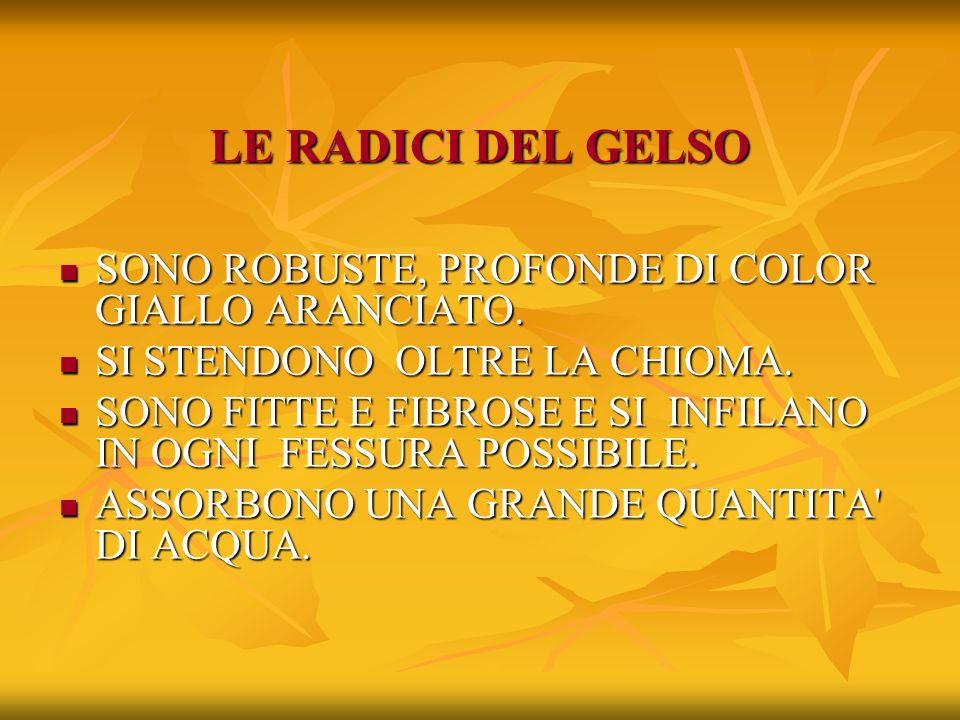 LE RADICI DEL GELSO SONO ROBUSTE, PROFONDE DI COLOR GIALLO ARANCIATO.