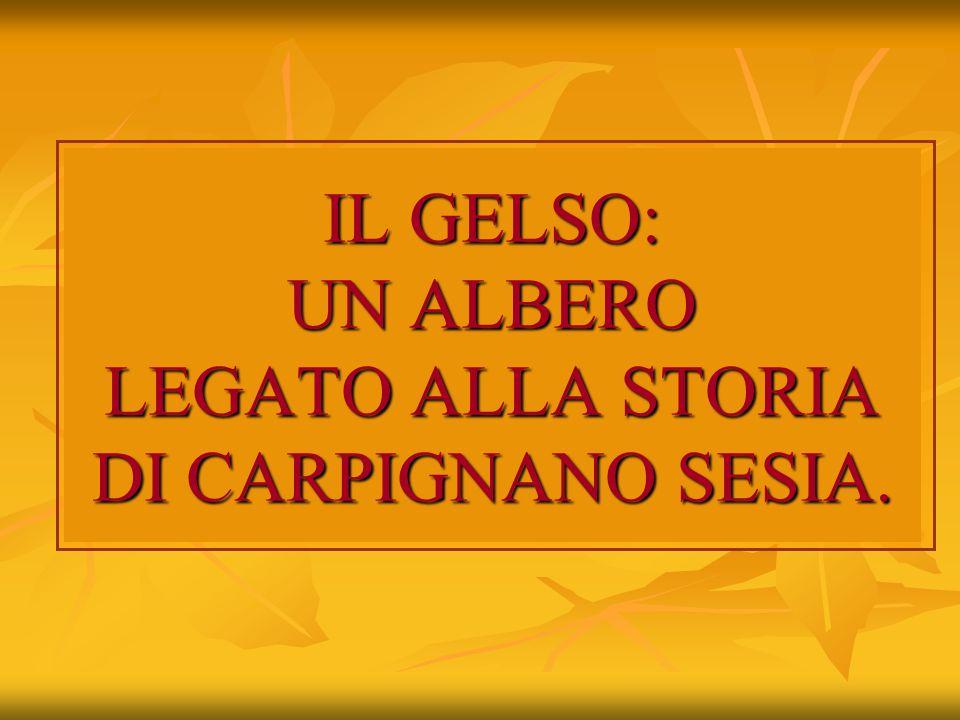IL GELSO: UN ALBERO LEGATO ALLA STORIA DI CARPIGNANO SESIA.