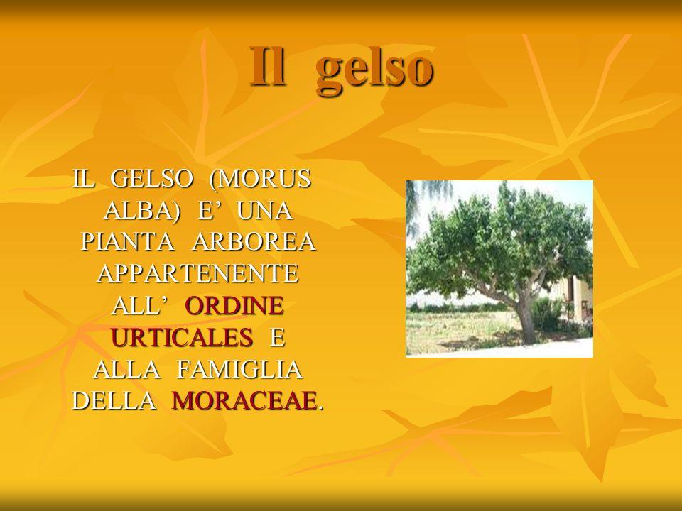 Il gelso IL GELSO (MORUS ALBA) E' UNA PIANTA ARBOREA APPARTENENTE ALL' ORDINE URTICALES E ALLA FAMIGLIA DELLA MORACEAE.