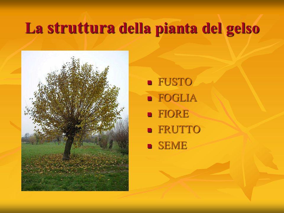 La struttura della pianta del gelso