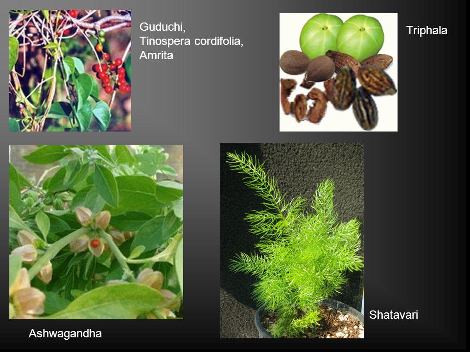 Guduchi, Tinospera cordifolia, Amrita Triphala Shatavari Ashwagandha
